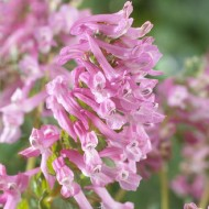 Corydalis solida Beth evans - Pack of TWO