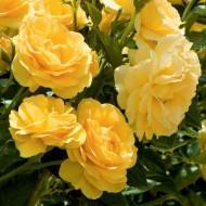 Rose Absolutely Fabulous - Floribunda Rose