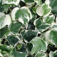 Hedera canariensis Gloire de Marengo - Large Leaf Variegated Ivy - Evergreen Ivy - Large 5-6ft Specimen Climber