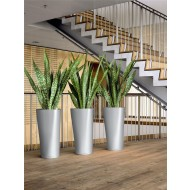 Snake Plants - Sansevieria - Pack of THREE
