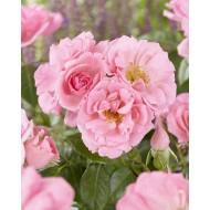 Rose Bantry Bay - Climbing Rose