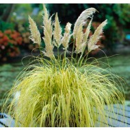 Cortaderia selloana Splendid Star - Dwarf Golden Pampas Grass