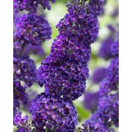Buddleja davidii Black Knight - Buddleia - Butterfly Bush