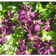 Clematis Romantika - Summer Flowering Clematis