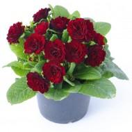 Primula belarina Valentine - Sumptuous Double Red Perennial Primrose