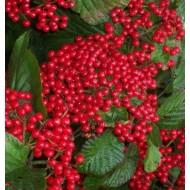 Viburnum dilatatum Erie - 80-100cm Specimen Plant