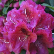 Rhododendron Nova Zembla - Rhododendron Hybrid
