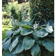 Hosta Big Daddy (sieboldiana hybrid)