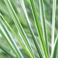 Calamagrostis acutiflora 'Overdam' - Variegated Feather Reed Grass