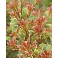 Pieris Little Heath - Lily of the Valley Shrub