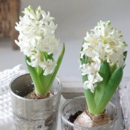 White Hyacinths in Bud