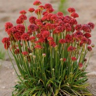 Armeria pseudarmeria Ballerina Red - Large flowered Thrift