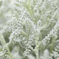 Large Santolina chamaecyparissus - Cotton Lavender