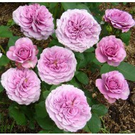Rose Lavender Ice - Floribunda Rose