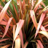 Phormium Flamingo - New Zealand Flax
