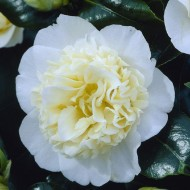 Camellia japonica Brushfield Yellow - Double Flowered Brushfield Camellia