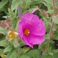 Cistus Sunset - Rock Rose
