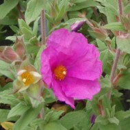 Cistus Sunset - Rock Rose