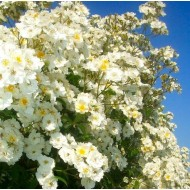 Rose Rambling Rector - Climbing Rose