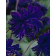Aquilegia Blue Barlow - Granny's Bonnet, Columbine