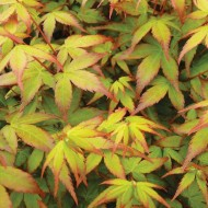 Acer palmatum Little Princess - Japanese Maple