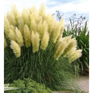 Pampas Grass - Cortaderia selloana White Feather - Pack of THREE Plants