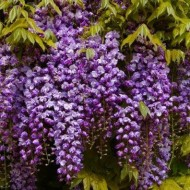 Wisteria floribunda Black Dragon - Violacea Plena Double Flowering Wisteria Vine