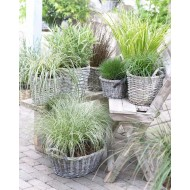 Gorgeous Grasses Collection - 5 Different Ornamental Grasses - Colourful Plants in 1-2 Litre Containers