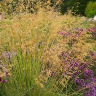 Stipa Gigantea - Golden Oats Grass - Large Plant