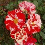 Rose Hanky Panky - Floribunda Rose