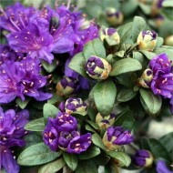 SPECIAL DEAL - Rhododendron Dwarf Blue Silver