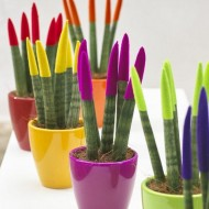 Sansevieria Velvet Touch Plants - Pack of THREE assorted colours approx 30cms tall