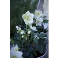 Helleborus niger - White Christmas Rose - Hellebore