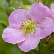 Potentilla fruticosa Pink Queen - LOVELY PINK