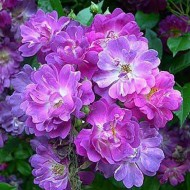 WINTER SALE - Large 6-7ft Specimen - Rambling Rose Veilchenbleu - Climbing Rose