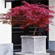 Extra Large Specimen Acer palmatum dissectum Firecracker - Japanese Maple - Approx 150cms