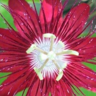 Passion Flower Lady Margaret - Passiflora