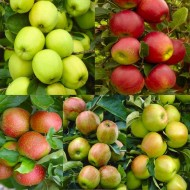 APPLE TREE - Multi-Variety Fruit Tree - APPLE - 5 varieties on one Tree!