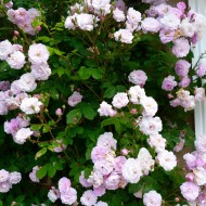 Rose Blush Noisettes - Climbing Rose