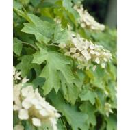Hydrangea quercifolia Snow Queen - Oak-Leaved Hydrangea