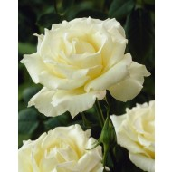Rose Pascali - Hybrid Tea Rose