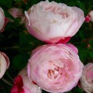 Rose Madame Pierre Oger - Shrub Rose