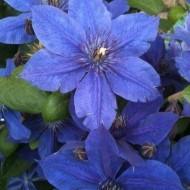 Clematis Mon Amour - Vivid Violet-Blue Clematis