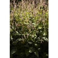 Persicaria amplexicaulis 'Rosea'