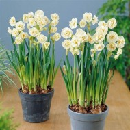 Narcissus Bridal Crown - Fragrant Double Daffodils - TWO lovely potfulls
