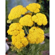 Achillea filipendula 'Cloth of Gold' - Yarrow