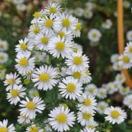 Aster ericoides 'White Heather' - Michaelmas Daisy