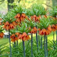 Fritillaria imperialis Aurora - Crown Imperial Fritillary