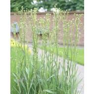 Eryngium Agavifolium - Eryingium agavifolium