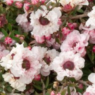 Leptospermum scoparium 'Apple Blossom' - New Zealand Tea Tree